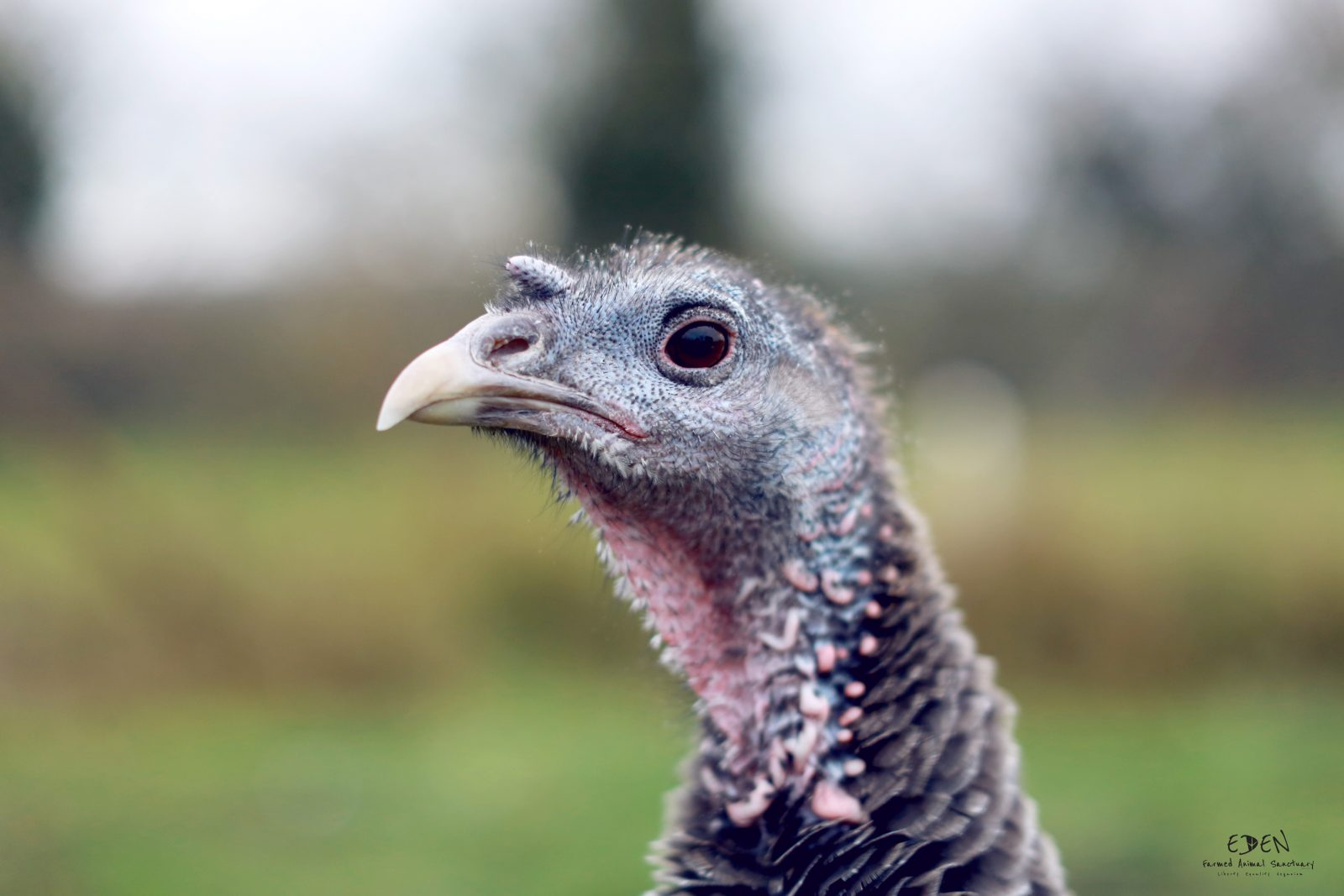 turkey at eden farmed animal sanctuary ireland