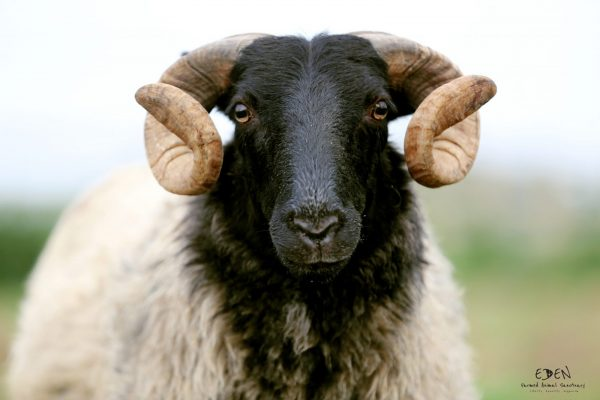 sheep at eden farmed animal sanctuary ireland