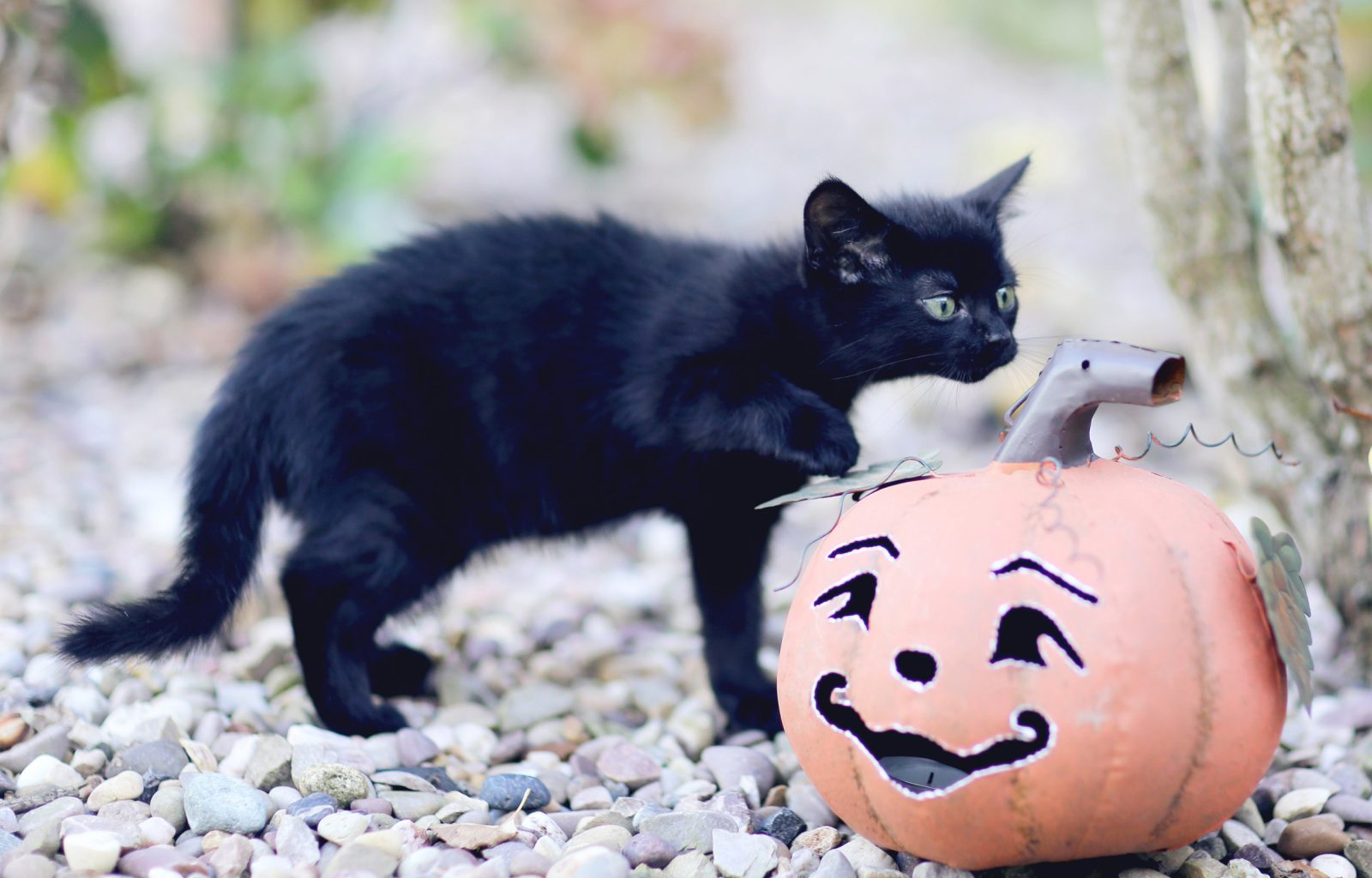 black kitten with a pumpkin pet photography northern ireland