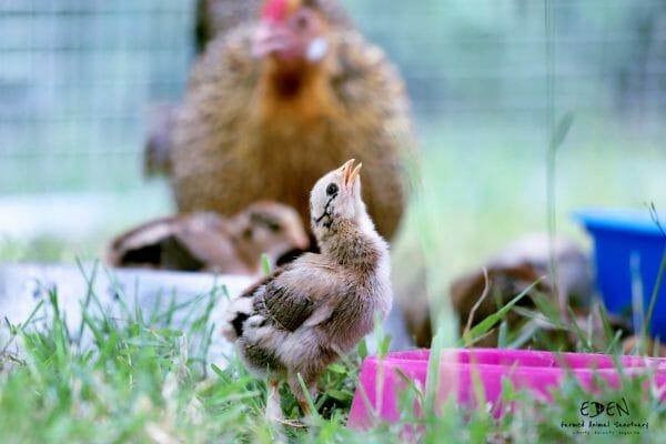animal photography at eden farmed animal sanctuary