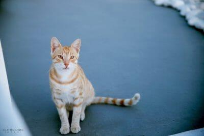 Travel Photography Santorini Greece Oia cat